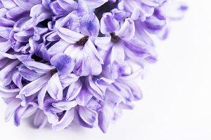 Purple hyacinth flowers