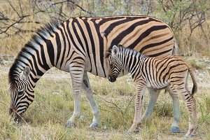 Zebra - Baby Animals with Stripes