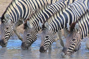 Zebra Beauty - Lined up Stripes