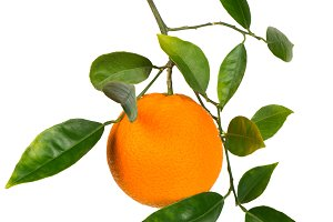 Branch with orange fruit.