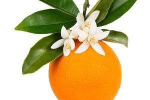 Orange tree branch with one orange