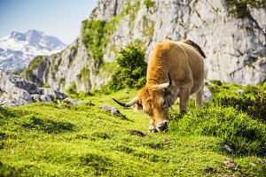 Cow in the lakes of Covadonga
