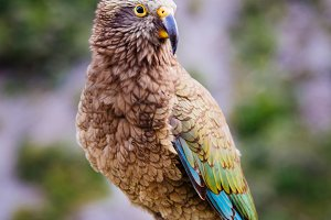 Kea Parrot in New Zealand