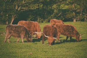 Scotland highland cows