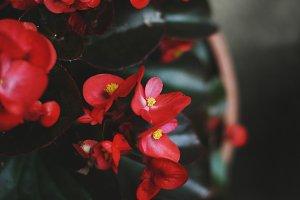 Crimson red begonia