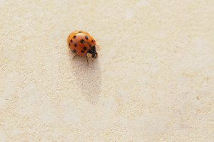 Ladybird ladybug insect