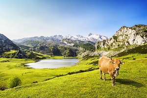 Cow in the Ercina lake, Covadonga