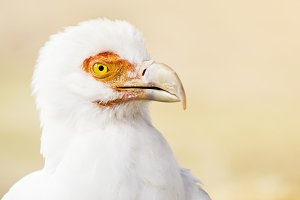 Palm-nut Vulture portrait