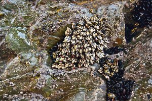 Goose Barnacles and Mussels