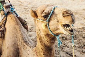 Camel in the Sahara Desert, Douz