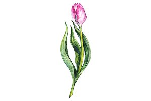 Watercolor tulip flower isolated