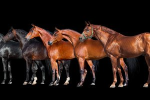 Group of horses isolated on black.