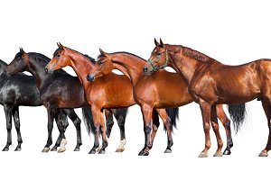 Group of horses isolated on white