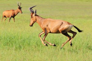 Red Hartebeest - Wildlife Run