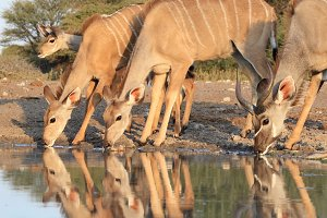 Kudu Antelope - Reflections of Joy