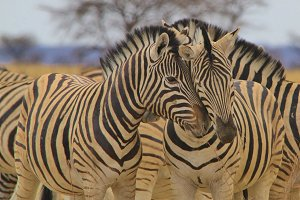 Zebra Love - Wildlife Antics and Fun