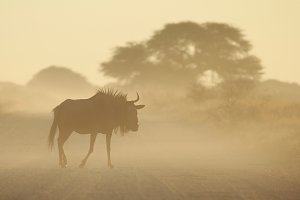 Blue Wildebeest - Freedom Silhouette