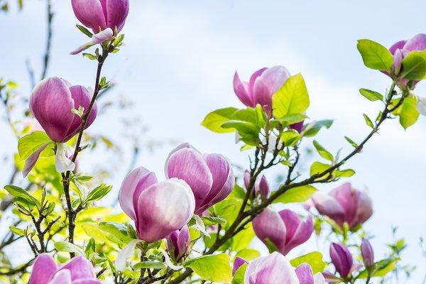 Beautiful Light Pink Magnolia