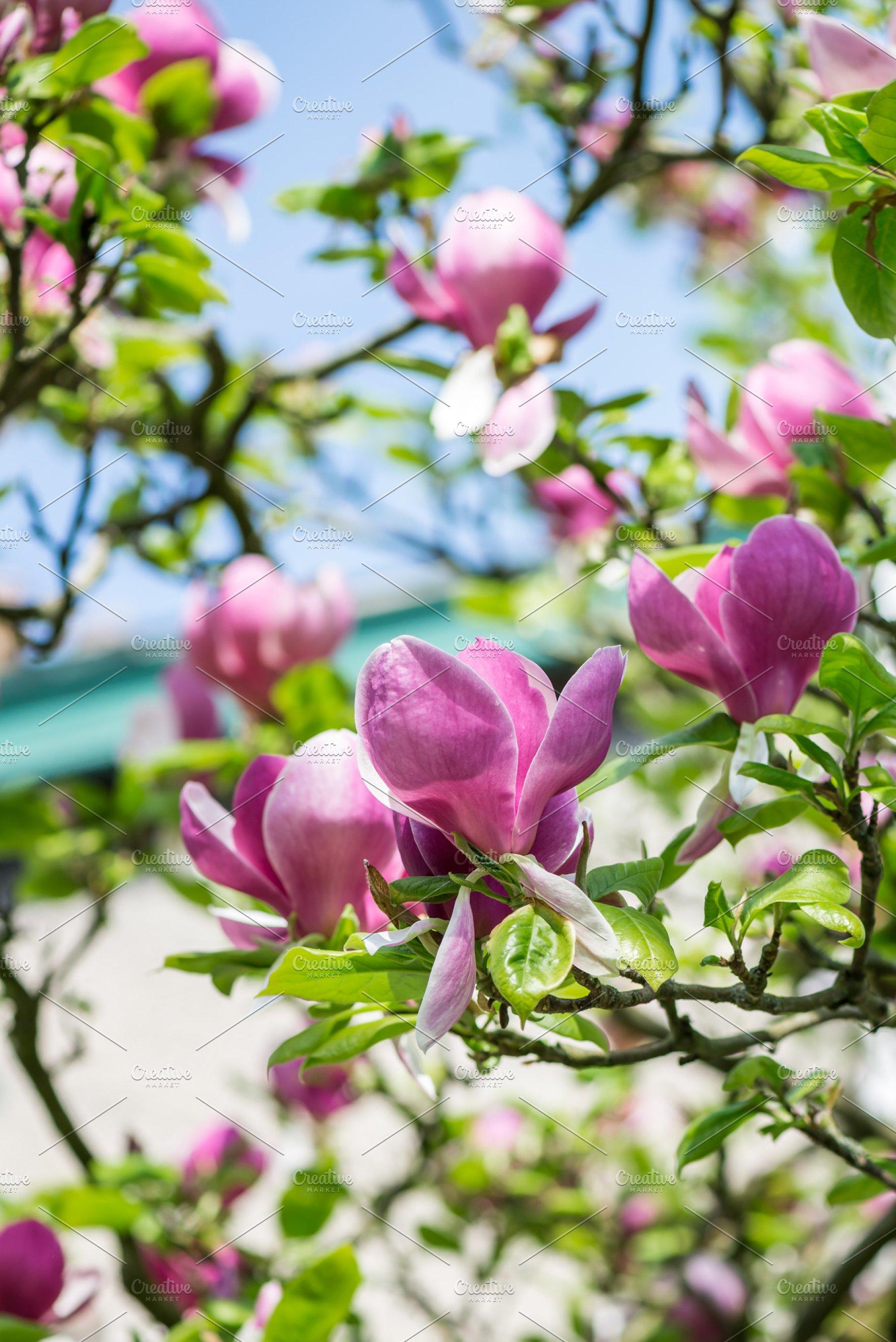 Beautiful Light Pink Magnolia Nature Photos Creative Market
