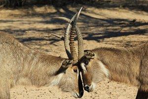 Waterbuck Bulls -Clash of Horns