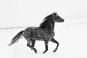 Black&white horse