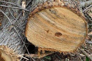 Sugar Maple Log End