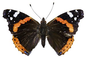Red Admiral on white Background