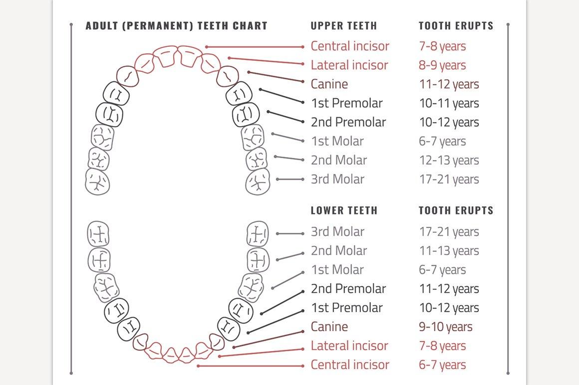 Adult Teeth Chart | Custom-Designed Illustrations ...