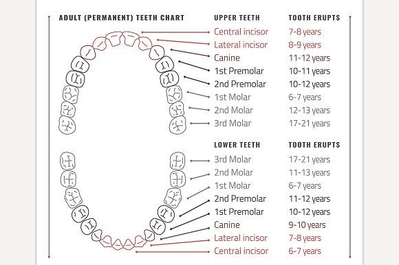 Adult teeth chart illustrations creative market
