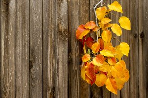 Fall Aspen Leaves and Wood Fence