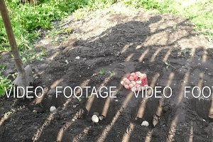 Planting Potatoes in the Ground With a Shovel