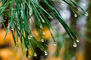 Pine Needle Droplets