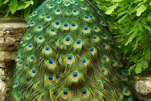 A Veil of Feathers