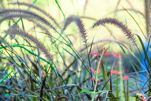 Tall Ornamental Grass Pink Flowers
