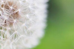 Macro sight of dandelion FULL SIZE