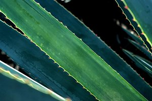 Detail of the sword of blue agave.