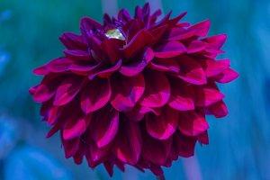 Dahlie flower