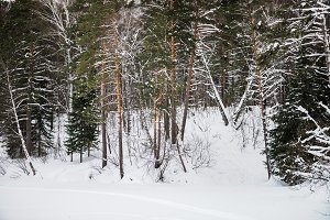 Snowy Forest during Winter time