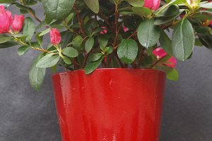 red pot with azalea
