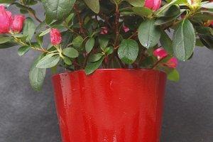 red pot with azalea
