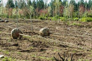 Harvested landscape trees
