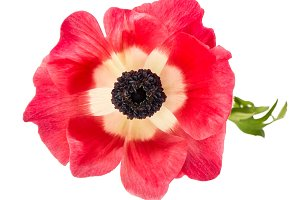 Flower head. Pink anemone JPG