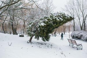 Thuja in a snowy park