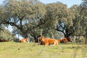 Calves lying