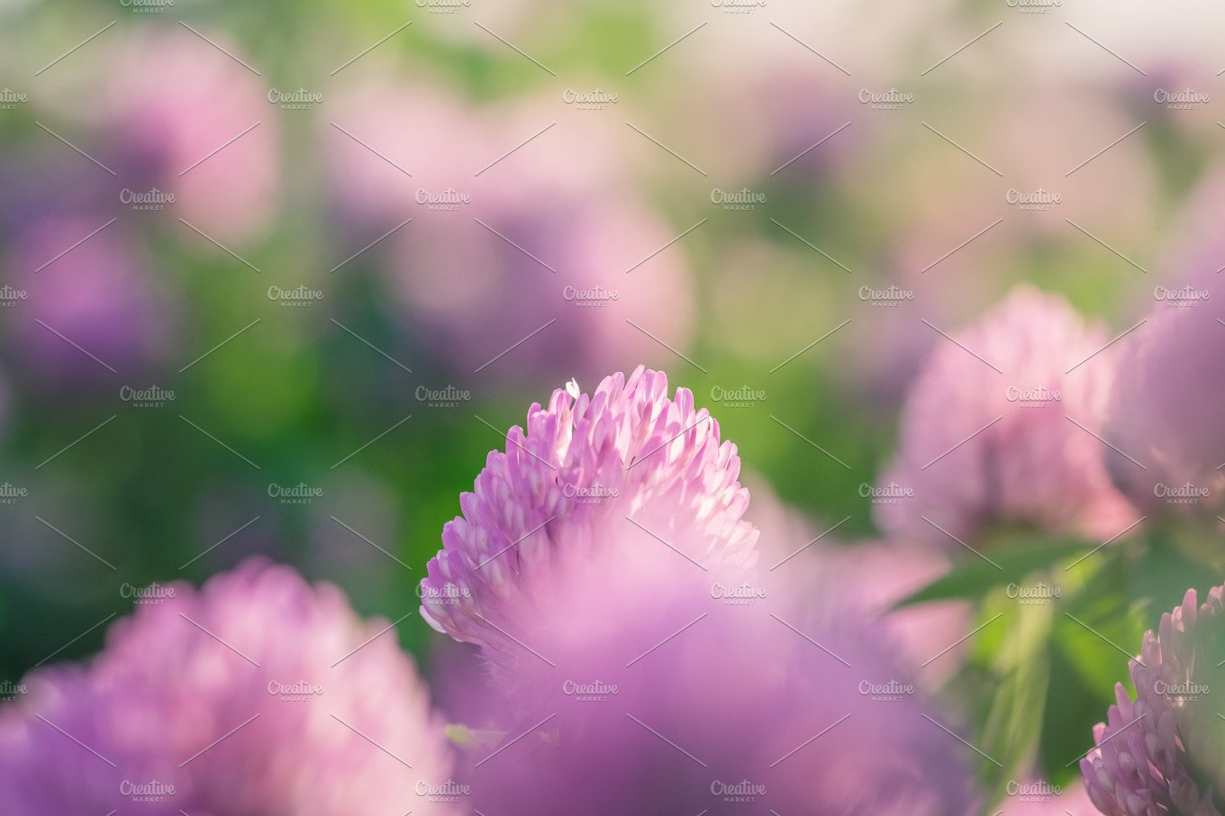 Wild Meadow Of Pink Clover Flower Bloom In Green Grass Field In