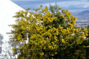 tree of mimosa blossoming