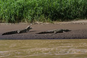 American Crocodiles sunning