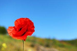 poppy and blue sky