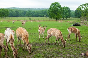 Deer on the meadow