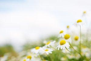 Chamomile flowers. Soft focus